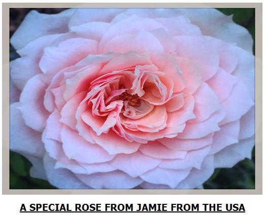 rose-4