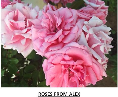 rose41